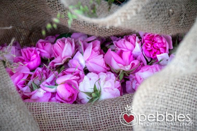 samaria-rose-farm28