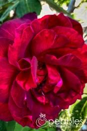 samaria-rose-farm39