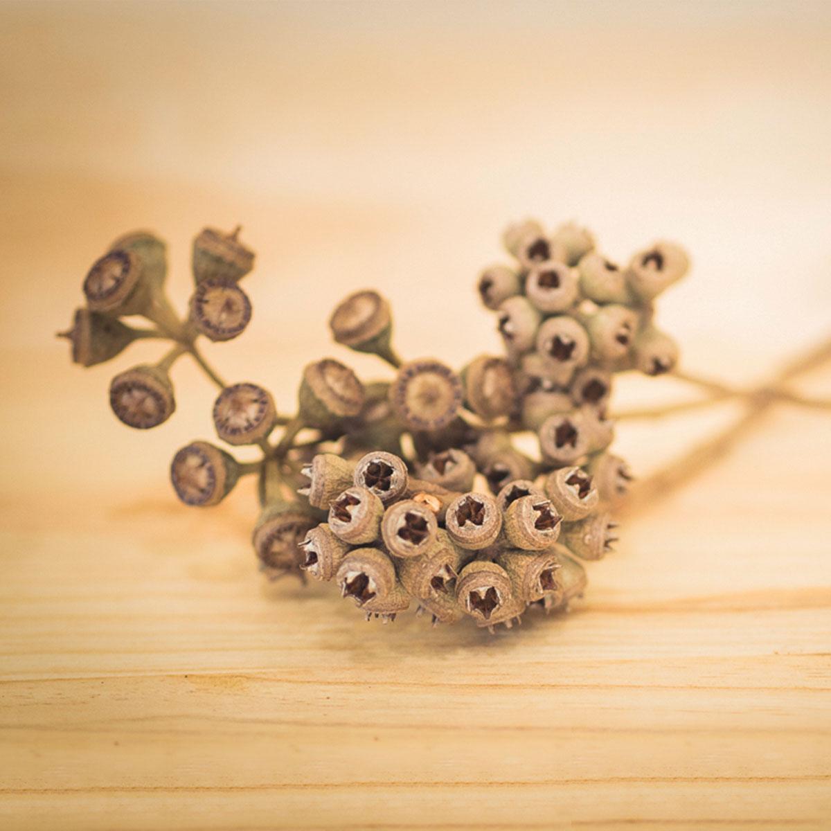 fruto1-eucalipto