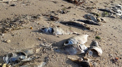 Dead fish washed up throughout the Peconic Estuary last spring.