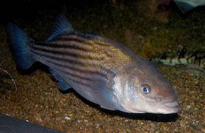 Striped bass populations appear to currently be stressed.