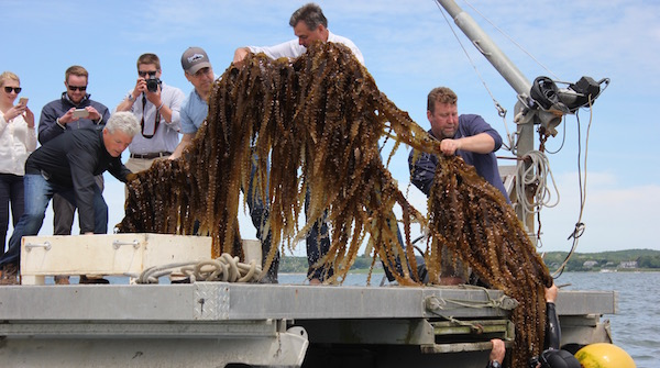 Cornell Cooperative Extension Researchers and Suffolk County representatives harvest kelp in Southold.