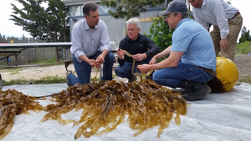 Suffolk County Legislator Al Krupski, County Executive Steve Bellone and CCE Marine Program Director Chris Pickerell with the freshly harvested kelp.