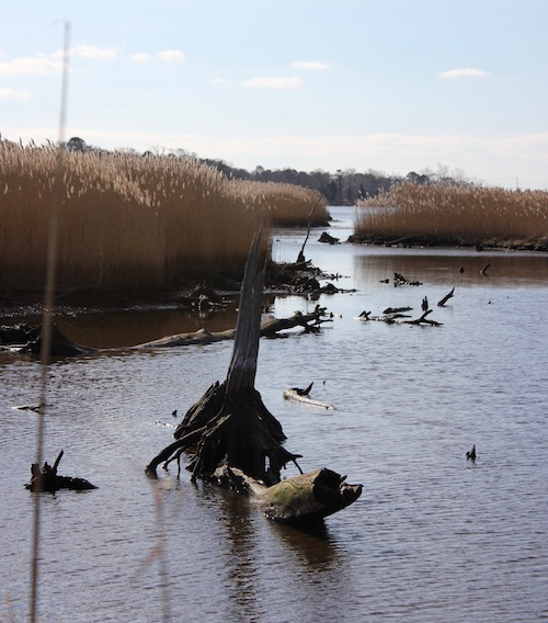 Submerged stumps of trees that had survived in freshwater but were killed when salt water made its way farther up the creek,