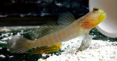 Lagoon Shrimp Goby
