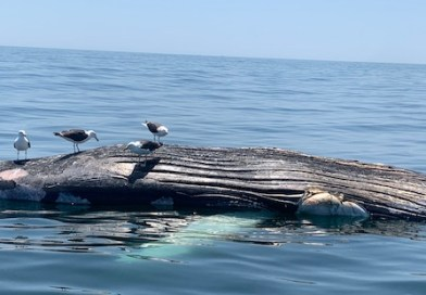 Dead Humpback Whale Adds to Marine Mammal Mortality Concerns