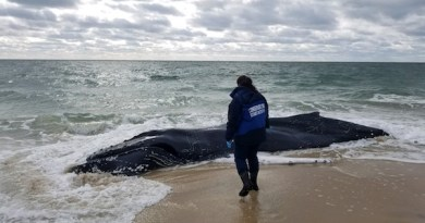 Dead Whale in Southampton Adds to Unusual Mortality Concerns