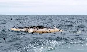 A deceased humpback whale was found floating off the coast of Montauk Friday (Rob DiGiovanni photo for AMSEAS)