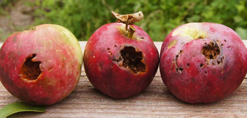 three sour apples
