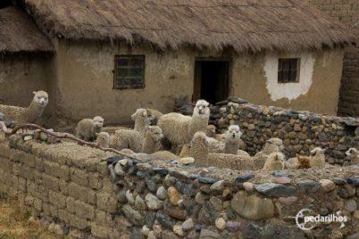 Alpacas e llamas, as criaturas mais fofas que existem nesse mundo!