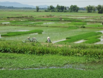 VIETNAM Hanoi arrozales