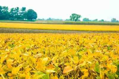 Golden Bean Field in York County, PA