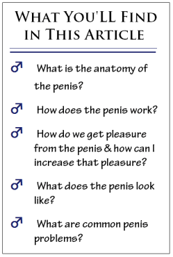 penis article guide to a man's penis