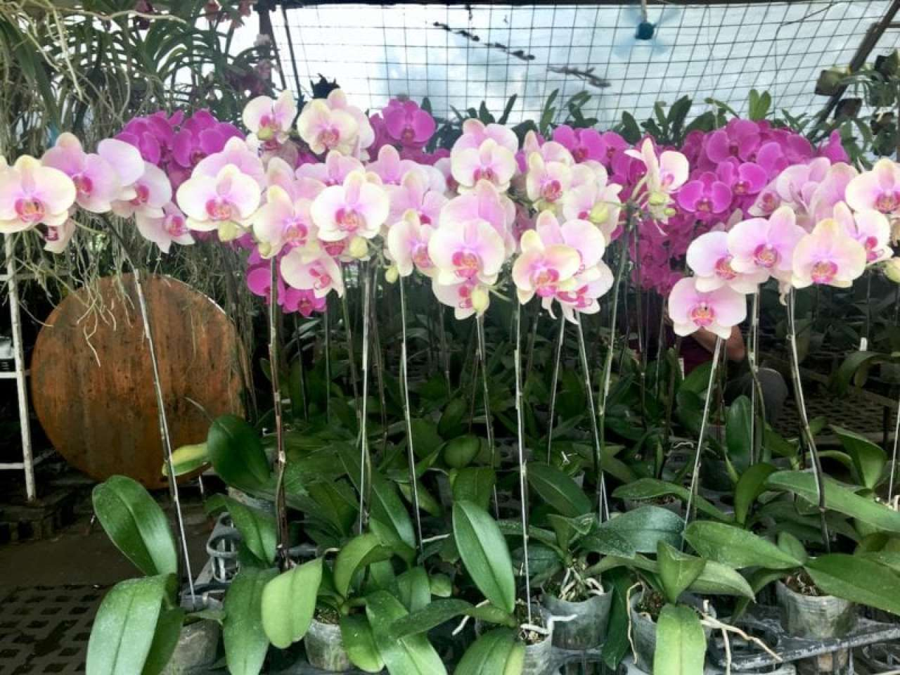 Phalaenopsis Orchids In Quezon City Circle