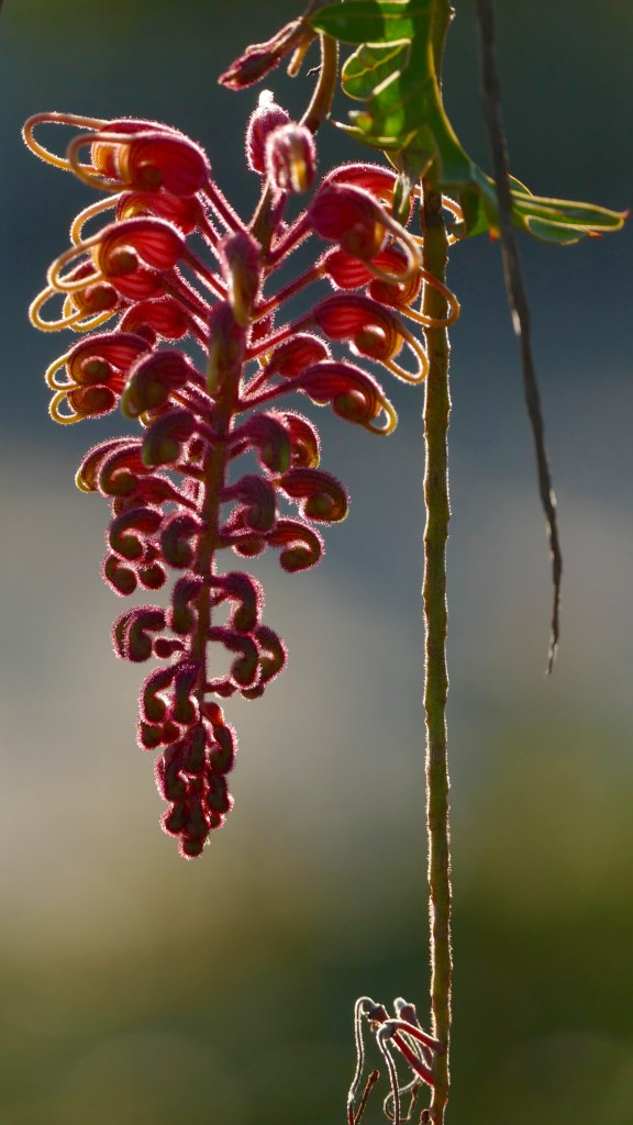 Grevillea, directly in front of late afternoon sun. All photos copyright Doug Spencer.