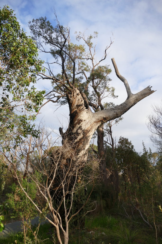 A venerable, dead tree's stump, with a more slender, living tree behind it.