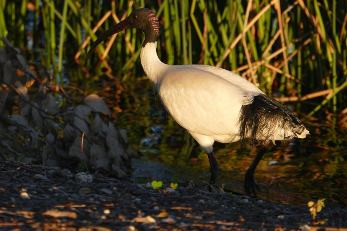 Ibis, Lake Monger's northern shore, late on a winter's day.