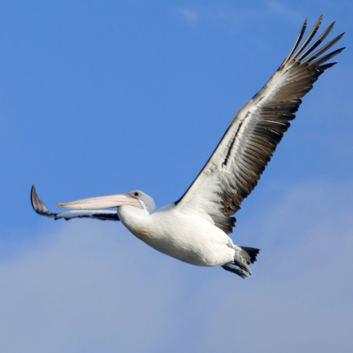 Same pelican as featured image; this taken a second earlier. All photos copyright Doug Spencer.