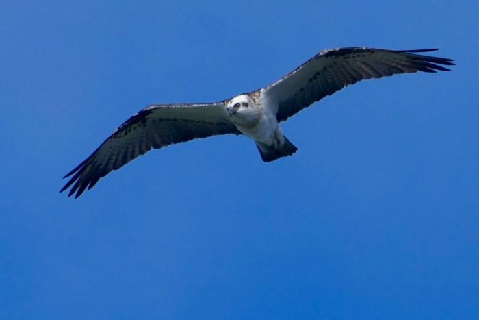 Osprey, above Porpoise Bay