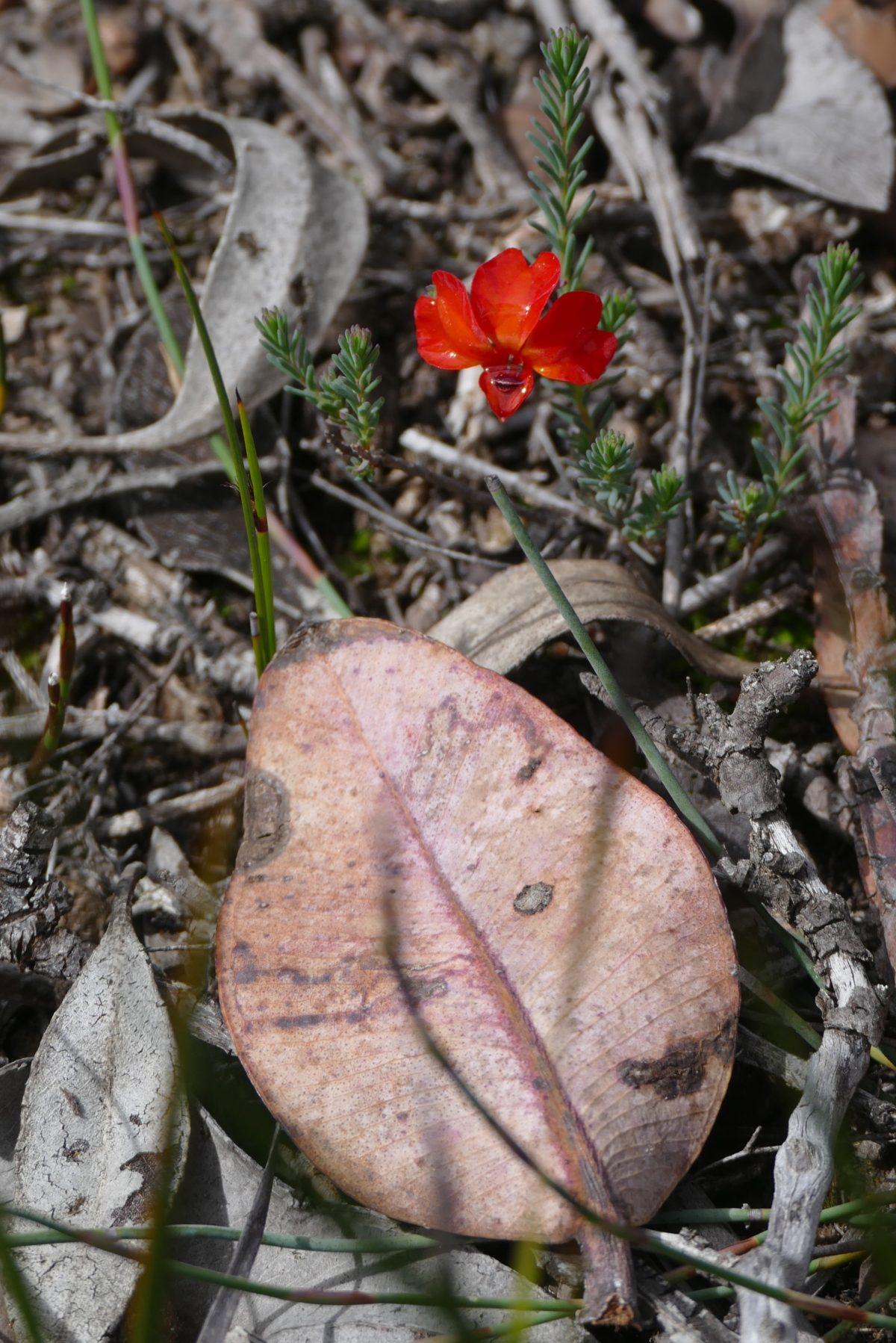 Red Leschenaultia and eucalypt leaves. All photos copyright Doug Spencer.