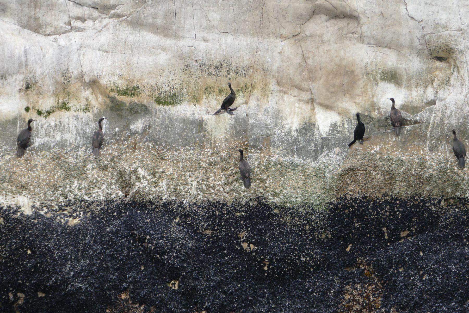 Pelagic (I think) cormorants, Glacier Bay. All photos copyright Doug Spencer