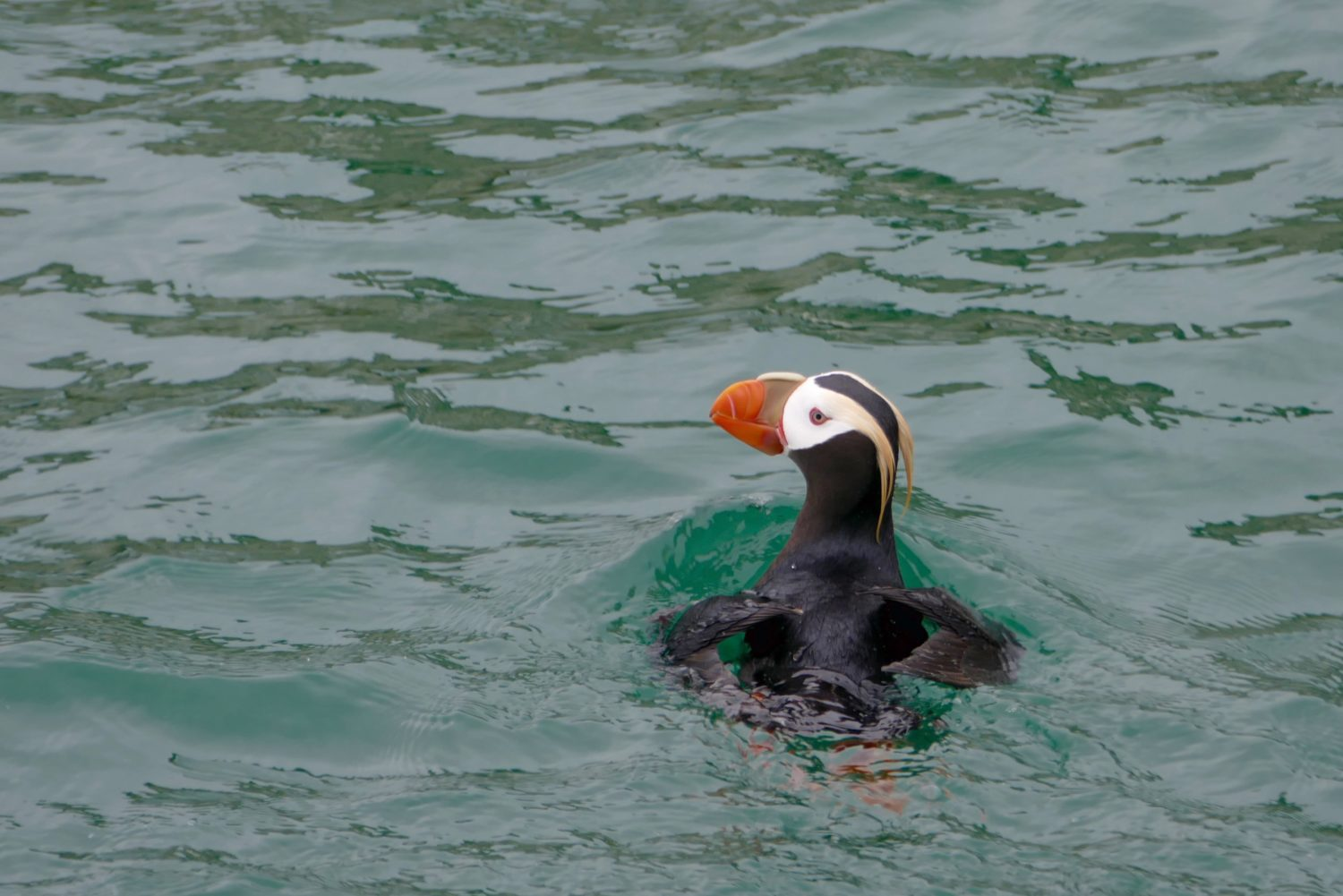Tufted puffin. All photos copyright Doug Spencer.