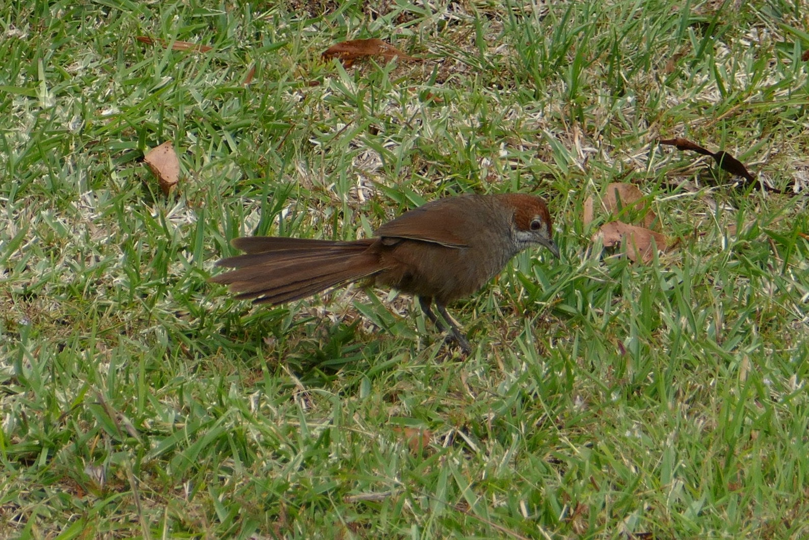 Rufous bristlebird. All photos copyright Doug Spencer.