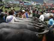 Ada Kontes Kerbau di Kabupaten Lebak