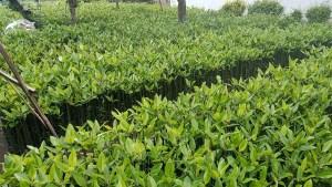 Klasifikasi Tanaman Mangrove