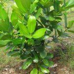 klasifikasi tanaman nyamplung
