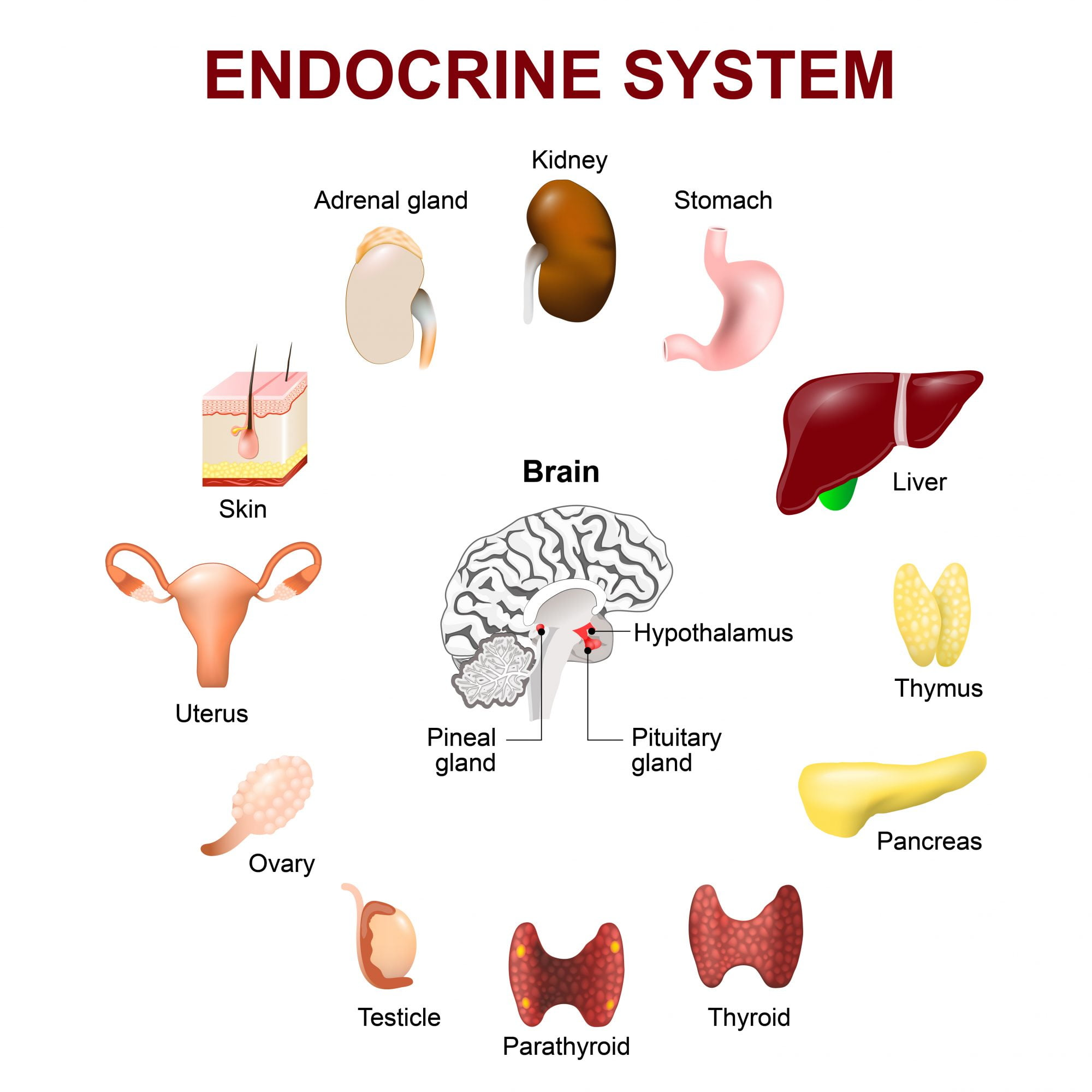 Balance Your Endocrine System With Pemf Therapy Pemf