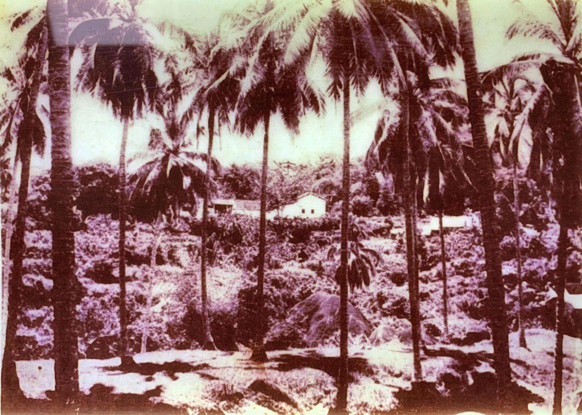 Penang Coconut Palm