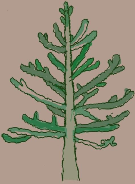 Monkey-Puzzle Tree
