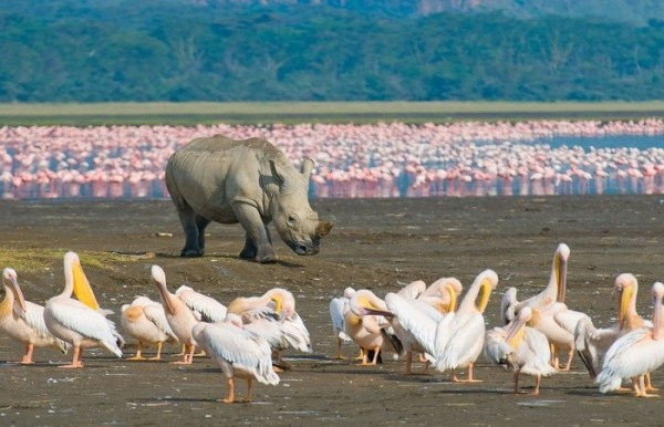 Lake Nakuru white pelicans and rhino with flamingos in the background | Penfam Tours and Safaris