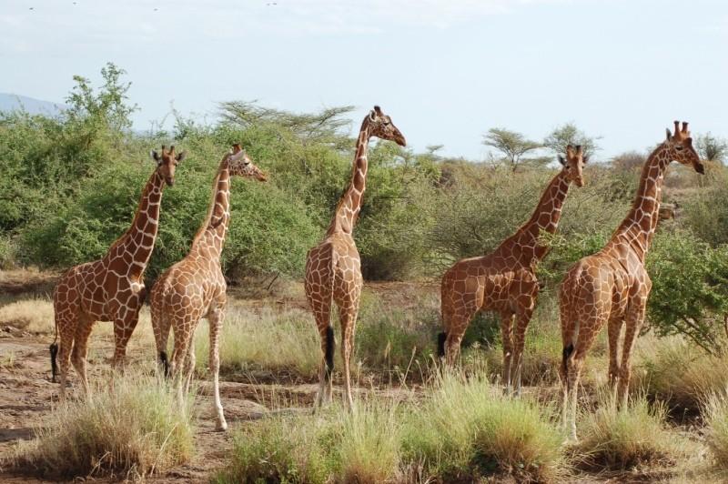 Reticulated giraffe - Samburu National Reserve | Kenya Tours and Safaris