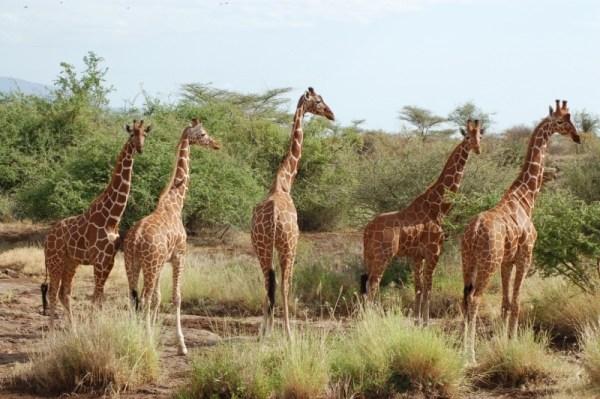 Reticulated giraffe - Samburu National Reserve   Kenya Tours and Safaris
