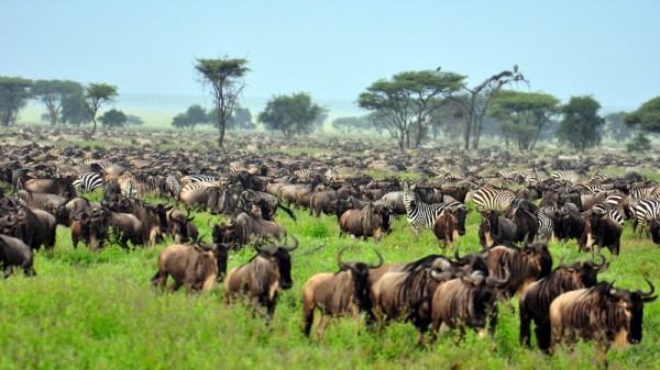 Masai Mara Safari Wildebeest migration Kenya Tanzania Safaris