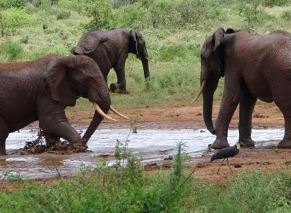 Baby Elephants Playing - Tsavo National Park