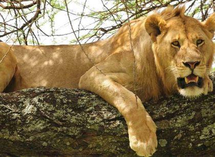 Climbing Lion at Lake Manyara