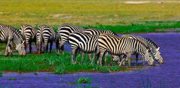 Zebras drinking warter at Amboseli National Park