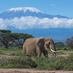 Amboseli Elephant with Views of Mt Kilimanjaro Kenya Safari