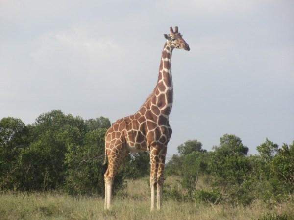 Kenya Safari Ol pejeta Consevancy