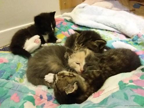 Playful kittens become sleepy kittens.