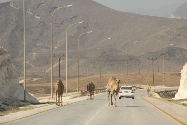 Camels, southern Oman