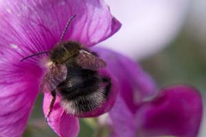 Bumblebee on a sweet pea flower