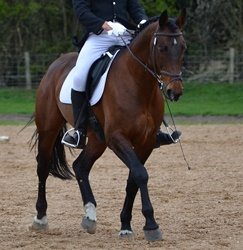 Z Concorde - Sport Horse Stallion - Yorkshire Riding Centre DR