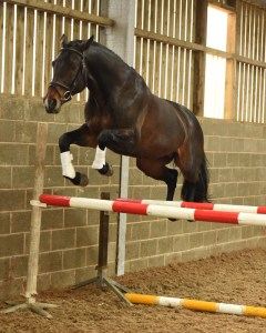Pennineview Silver Concorde - SHB Stallion Grading 2015 - Free Jump 2