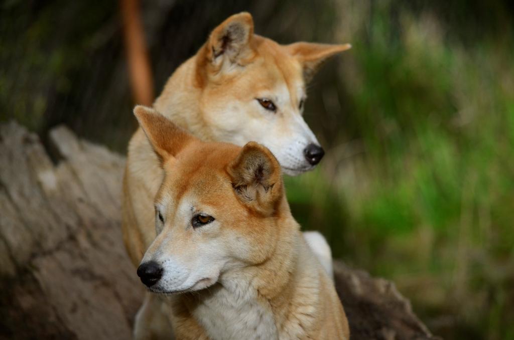 Resultado de imagem para dingo (cão selvagem)