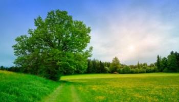 Old Oak in Meadows