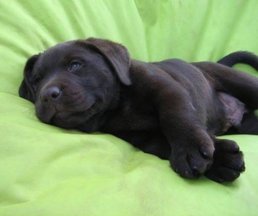 Labrador Chiot